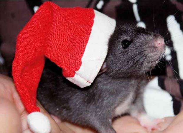Julemat og rotter er dessverre sant